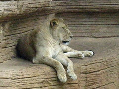 Lioness resting on a ledge
