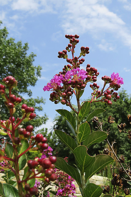 IMG_5693CrapeMyrtle