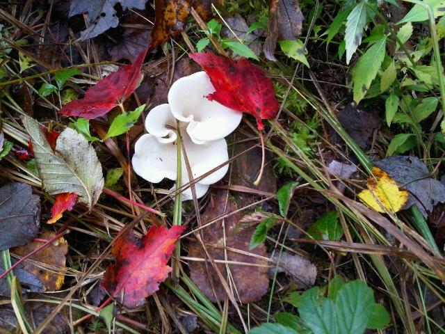 Adirondack shrooms