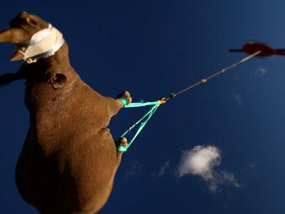 rinocerontes voladores