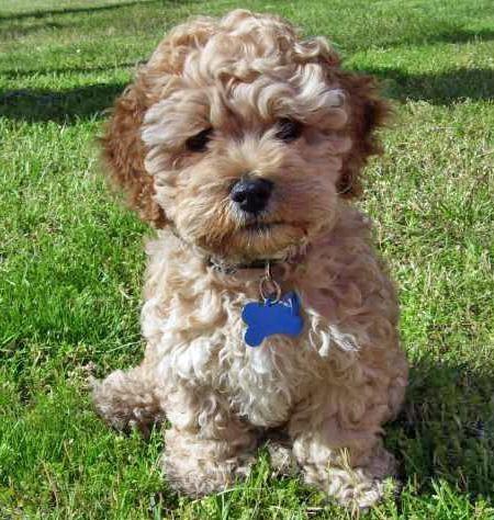 (SOLD to Yolande) Goofy - Cockapoo. M– Rolly Teacup Puppies |Teacup Cockapoo