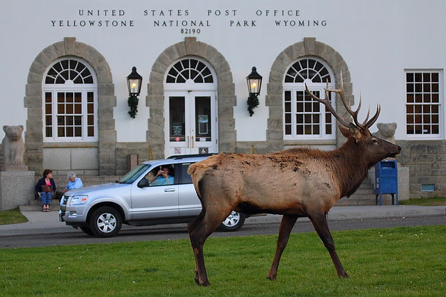 IMG_0075 Elk at Our Post Office, Mammoth Hot Springs