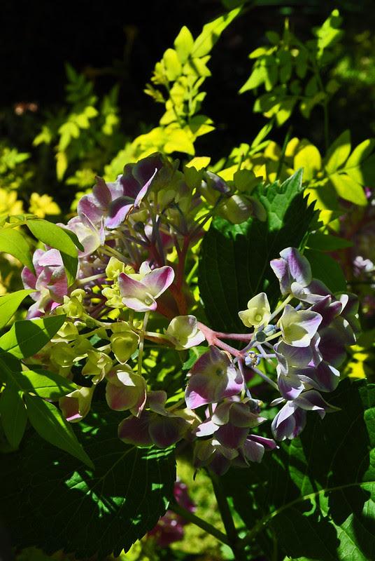 Hydrangea macrophylla 'Frau Kinue' and Jasminum officinale 'Aurea' (2)