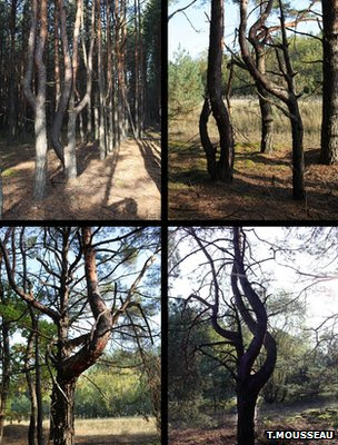 Collage of photos showing mutated Scots pines (Image: Tim Mousseau)