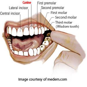 Purpose of Canine teeth