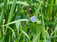 Eastern tailed blue camp dennison