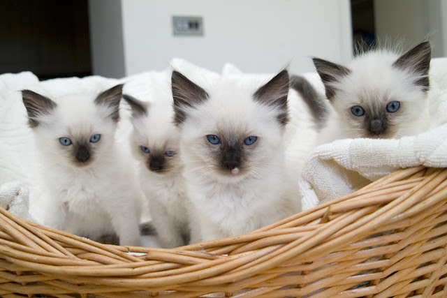 Basket Of Rag Doll Kittens