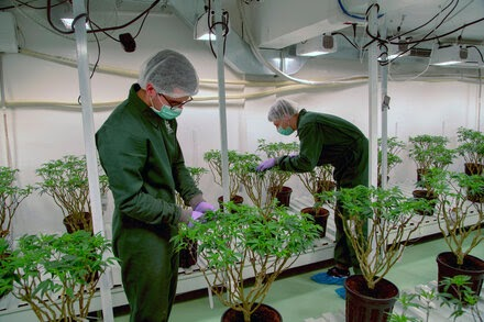U.N. Reclassifies Cannabis as a Less Dangerous Drug