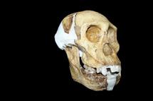Cráneo de 'A. sediba'. | L. Berger