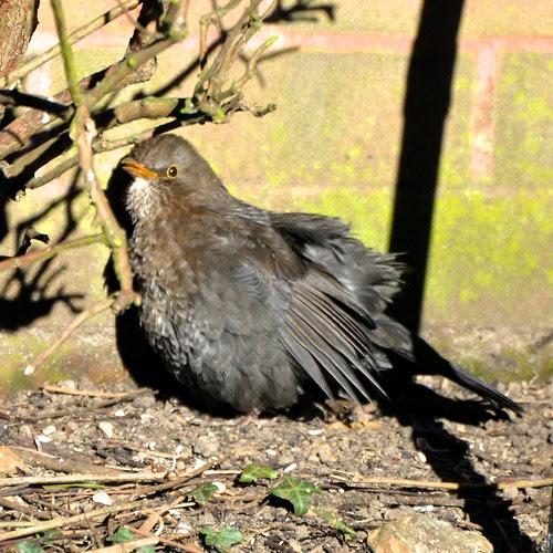 Blackbird, sunbathing