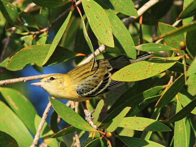 Bay-breasted Warbler 20131023