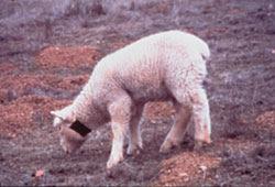 actionpoisons.lamb.jpg