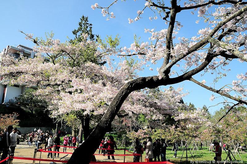 阿里山櫻花季71