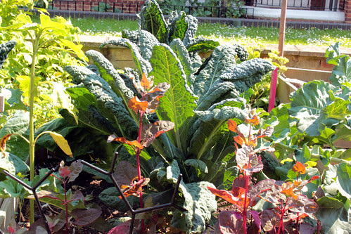 Cavolo Nero and Red Orach