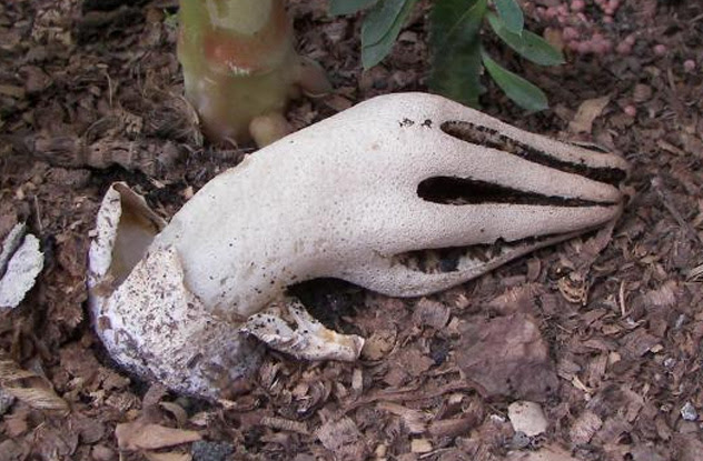 Kërpudha gishtërinjtë e djallit