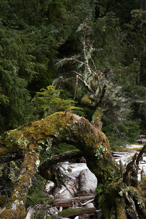 lichens on a tree, and more, Kasaan, Alaska