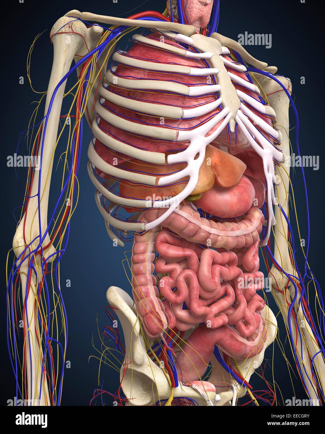 Rib Cage Diagram With Organs
