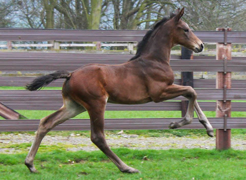 black-tobiano:  MSJ Charmer (Charmeur x Dorina), Charlotte Dujardin's new dressage foal from Mount St John Stud, Yorkshire. Check out that hindleg action in canter!