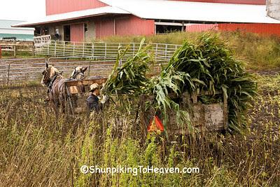 Amish Man Loading Corn, Winona County, Minnesota