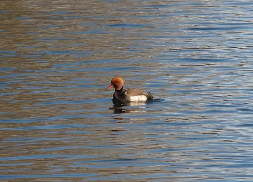 11948 - Red Crested Pochard at Cosmeston Lakes. Cardiff