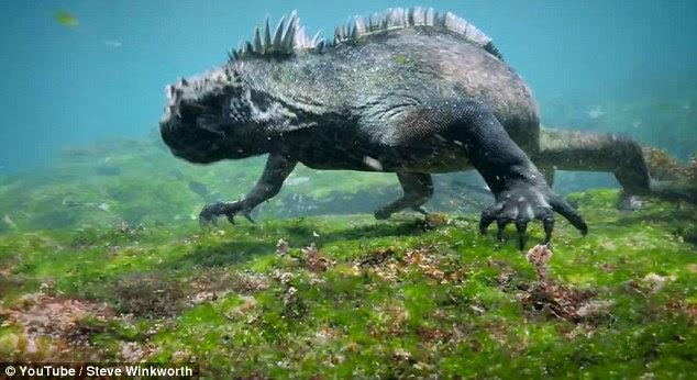 Iguana Laut (Amblyrhynchus cristatus) yang berhasil direkam oleh Steve Winkworth, seorang penyelam sekaligus videografer asal Inggris, di Cabo Marshall, Kepulauan Galapagos. Foto : Youtube / Steve Winkworth