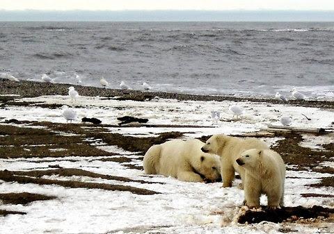 Polar bears in the Arctic National Wildlife Refuge in Alaska.