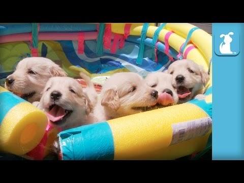 Golden Retriever -Dogs Food Information