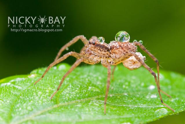 Wolf Spider (Lycosidae) - DSC_2972