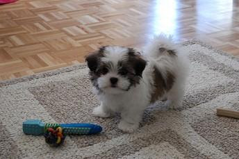 Shih Tzu Puppy For Sale - Cape Town, South Africa - Free ...