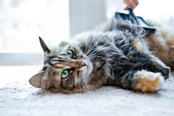 ¿Qué es la bolsa primordial en gatos?