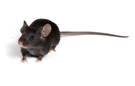 Rat Control, Rodent Control, Rat Pest Control, Rat Removal