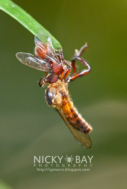 Robberfly (Asilidae) - DSC_2173