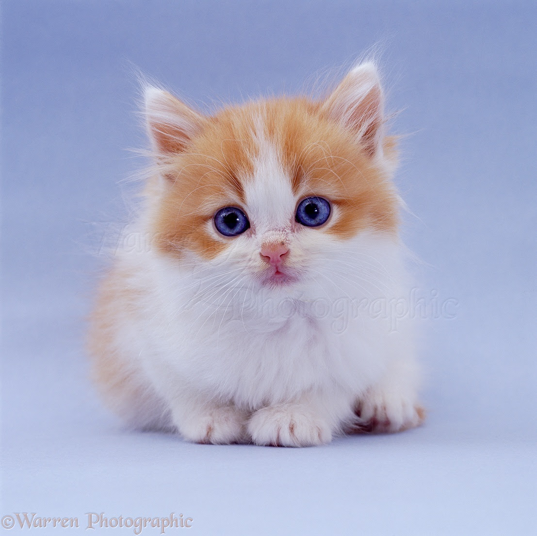 Pictures Of White Kittens With Blue Eyes - Pictures Of ...  White Cat With Dark Blue Eyes