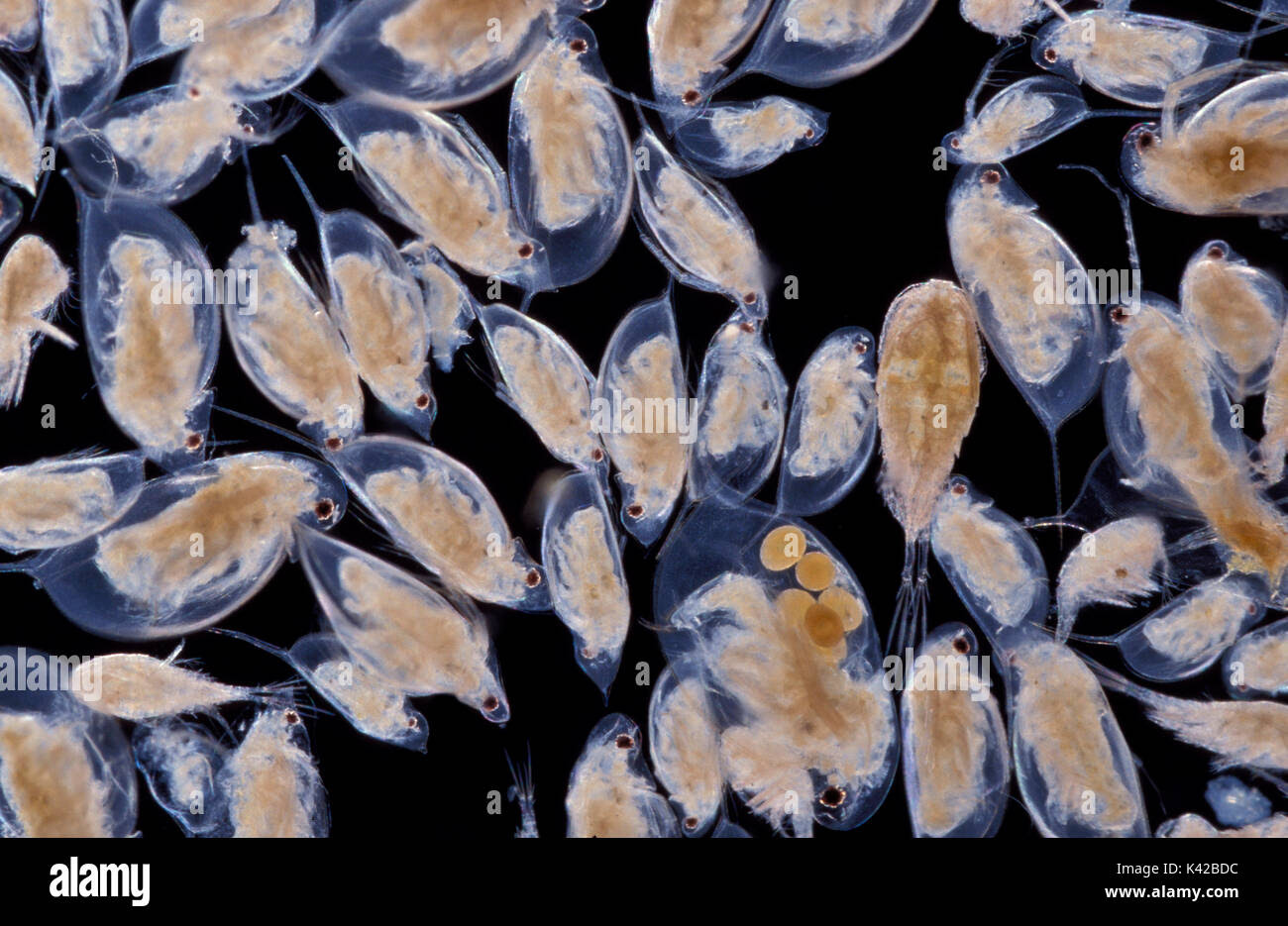 Daphnia Water Fleas Water Life Parthenogenesis Aquatic Eggs