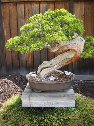 California Juniper Bonsai