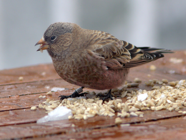 Brown-capped Rosy-Finch 20111114