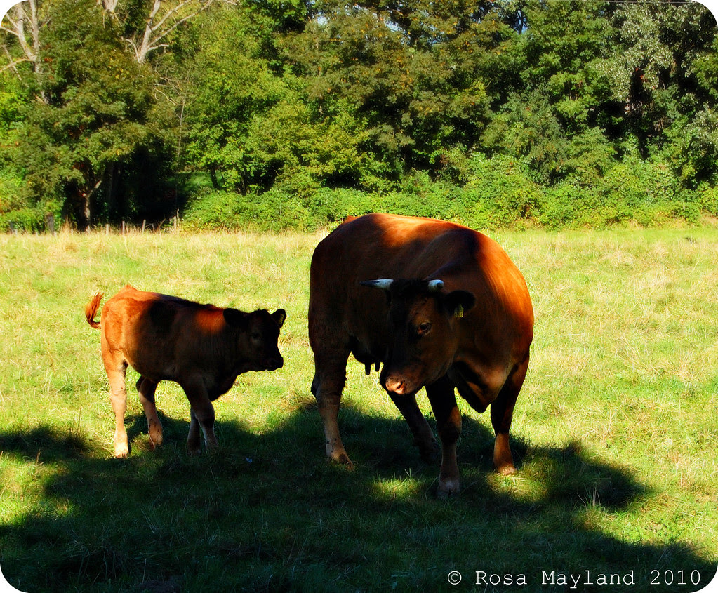 Cows 1.1 bis