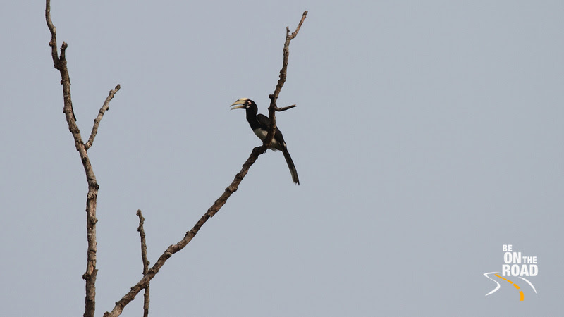 Oriental Pied Hornbill at Assam's Kaziranga National Park
