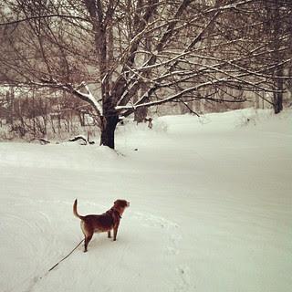Snowphie! #dogstagram #Rescued #houndmix #snow #ilovemydogs #instadog #winterwonderland