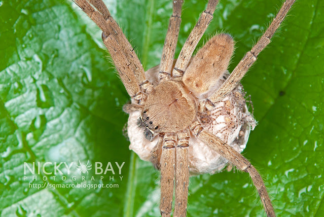 Huntsman Spider (Sparassidae) - DSC_4635