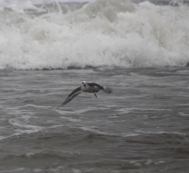 The Grey phalarope, pictured by 11 year-old Thomas Spencer at St Brides Beach.