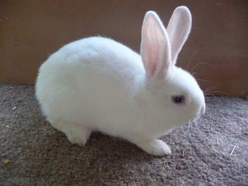 Afbeeldingsresultaat voor hulstlander konijn