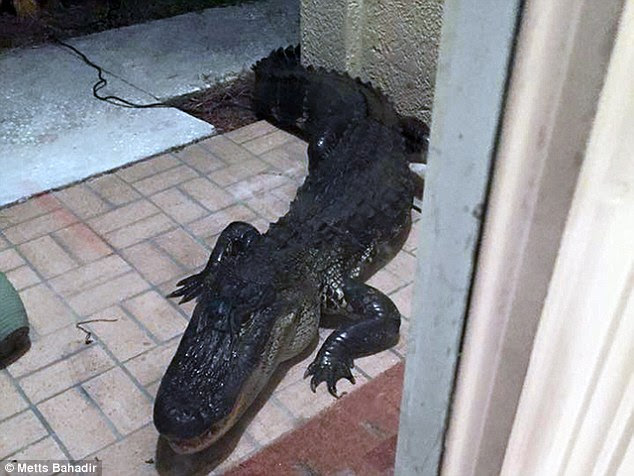 Knock knock: This terrifying 10-foot alligator was found clawing at the back door of a home in Lutz, Florida, last Thursday. Inside were a family-of-four