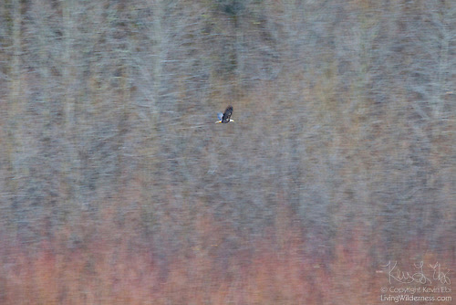 Bald Eagle Flying Past Forest, Winter, North Cascades, Washington