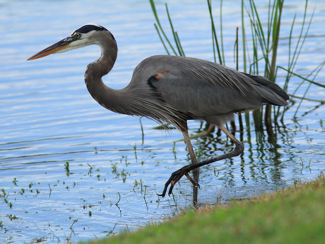Great Blue Heron 3-20121211