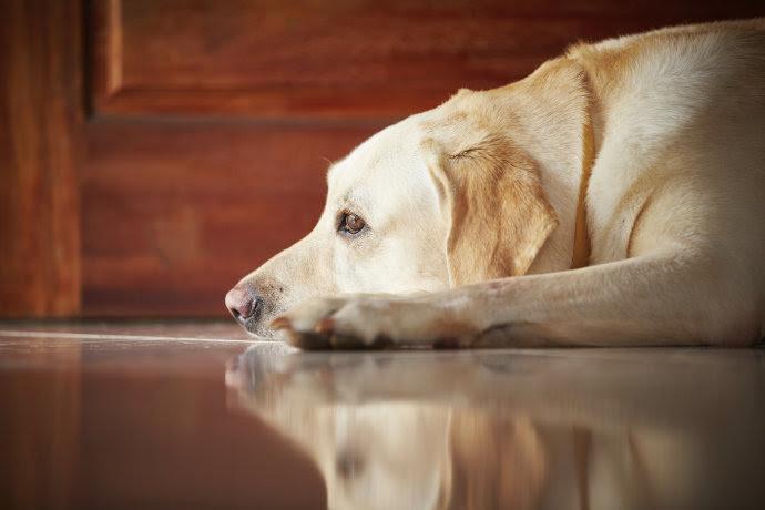 alx_cachorro-triste-sozinho-casa_original