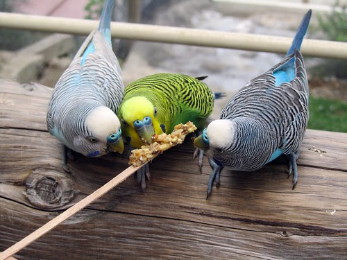 Trio of Budgies