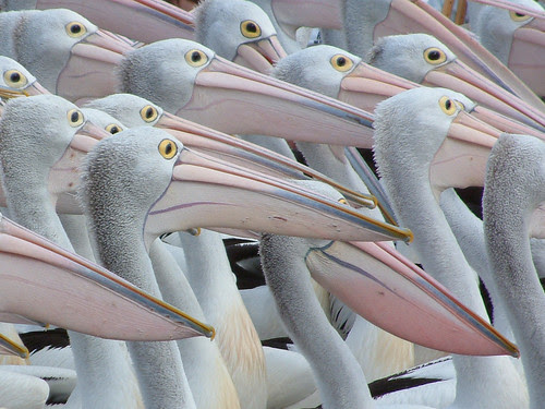 Patient Pelicans por Xtoffa