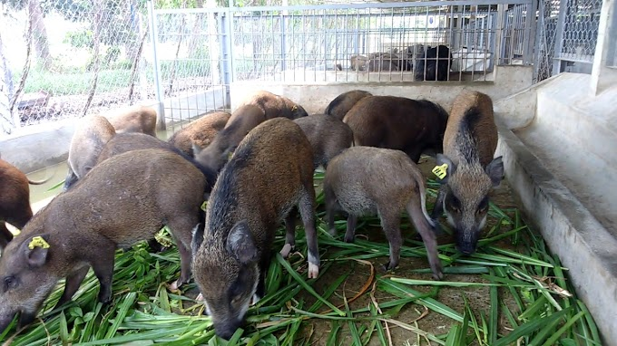 Cách nuôi Lợn Rừng tại nhà