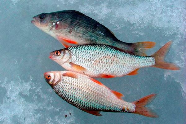 Ловля плотвы в феврале, зимняя рыбалка, ловля февральской плотвы, игра мормышкой, ловля плотвы на мормышку, ловля плотвы приемы работы с мормышкой, приемы игры мормышкой, как ловить плотву на мормышку
